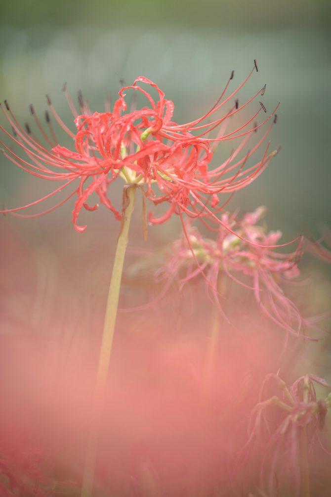 早咲きの彼岸花