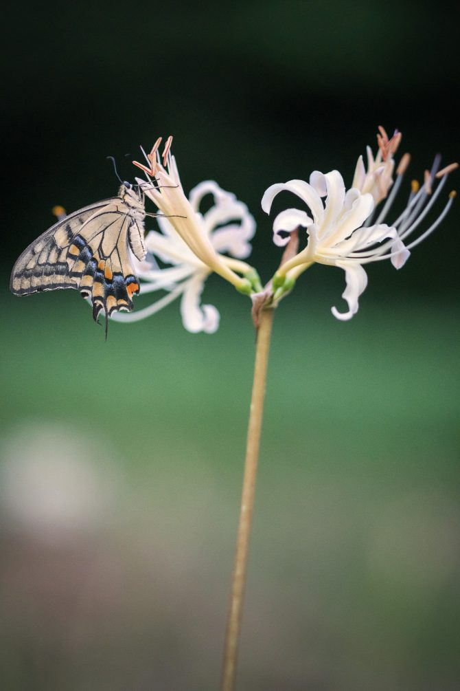 白い彼岸花とアゲハ蝶