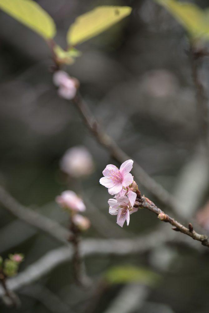 狂い咲きの河津桜