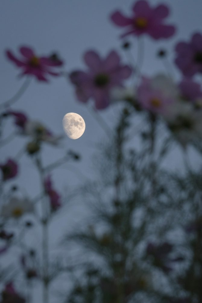 コスモスときのうの月