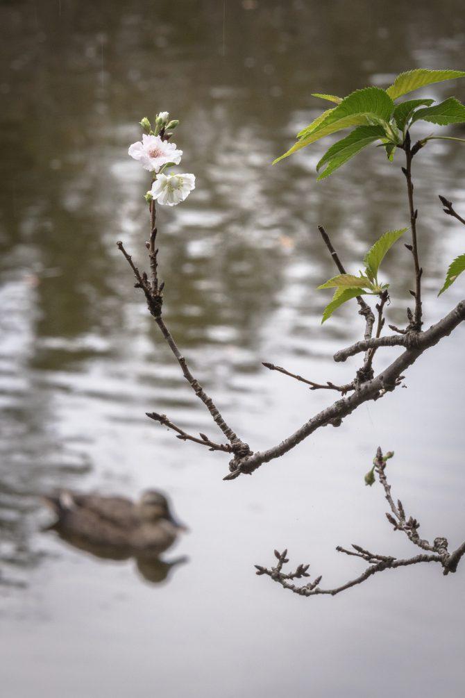 じゅん菜池緑地の十月桜