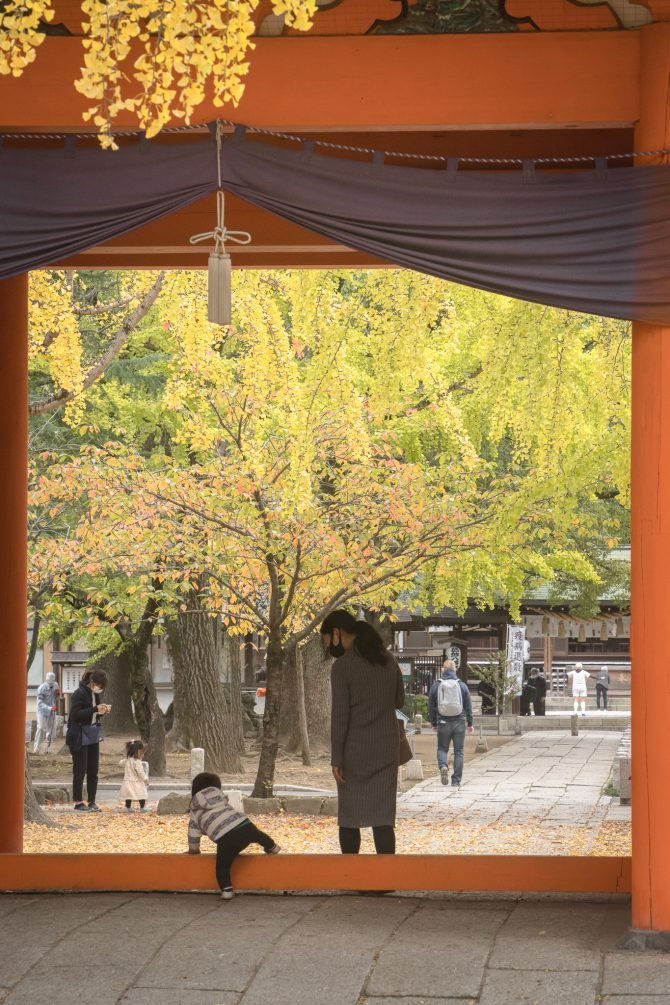 葛飾八幡宮の黄葉がスタート
