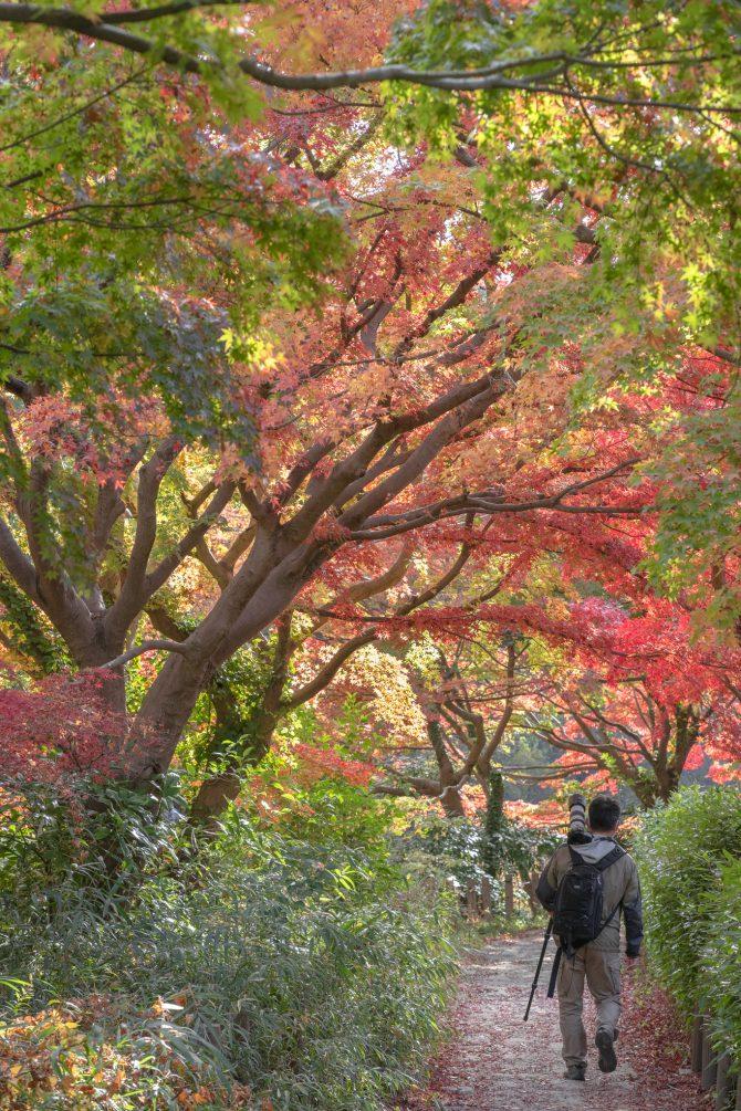 じゅん菜池緑地のモミジの紅葉