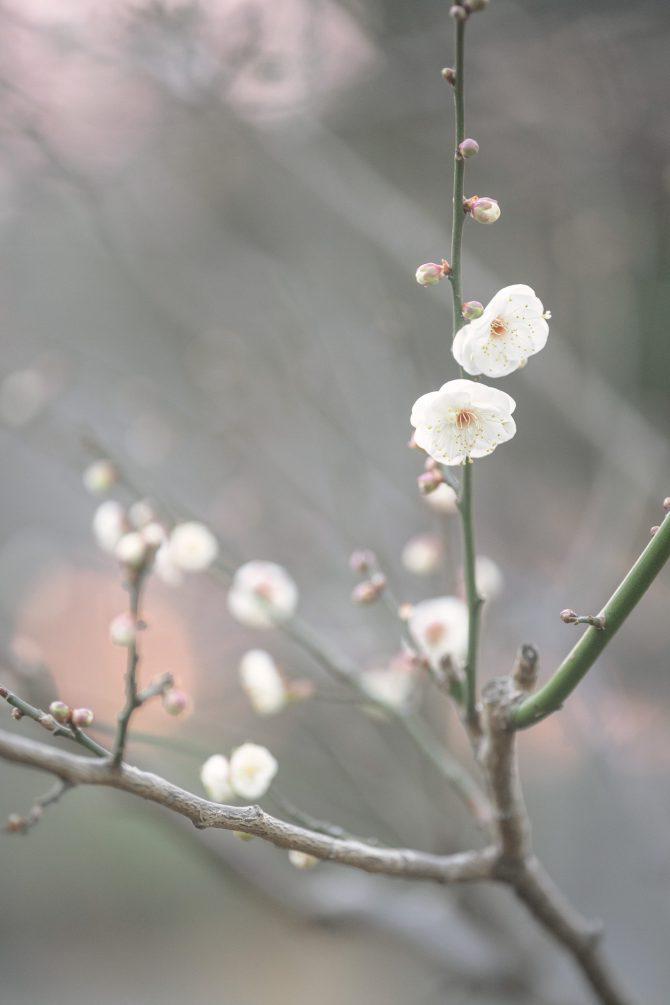 梅が咲きはじめ
