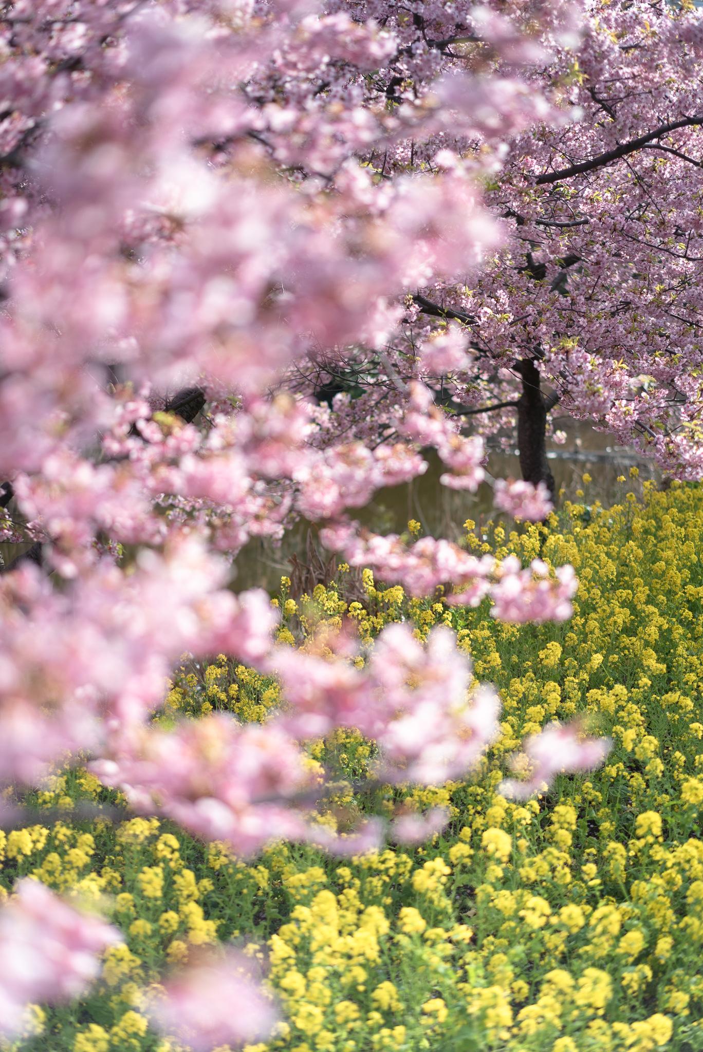 菜の花と河津桜 行徳野鳥観察舎にて 2020年3月3日撮影