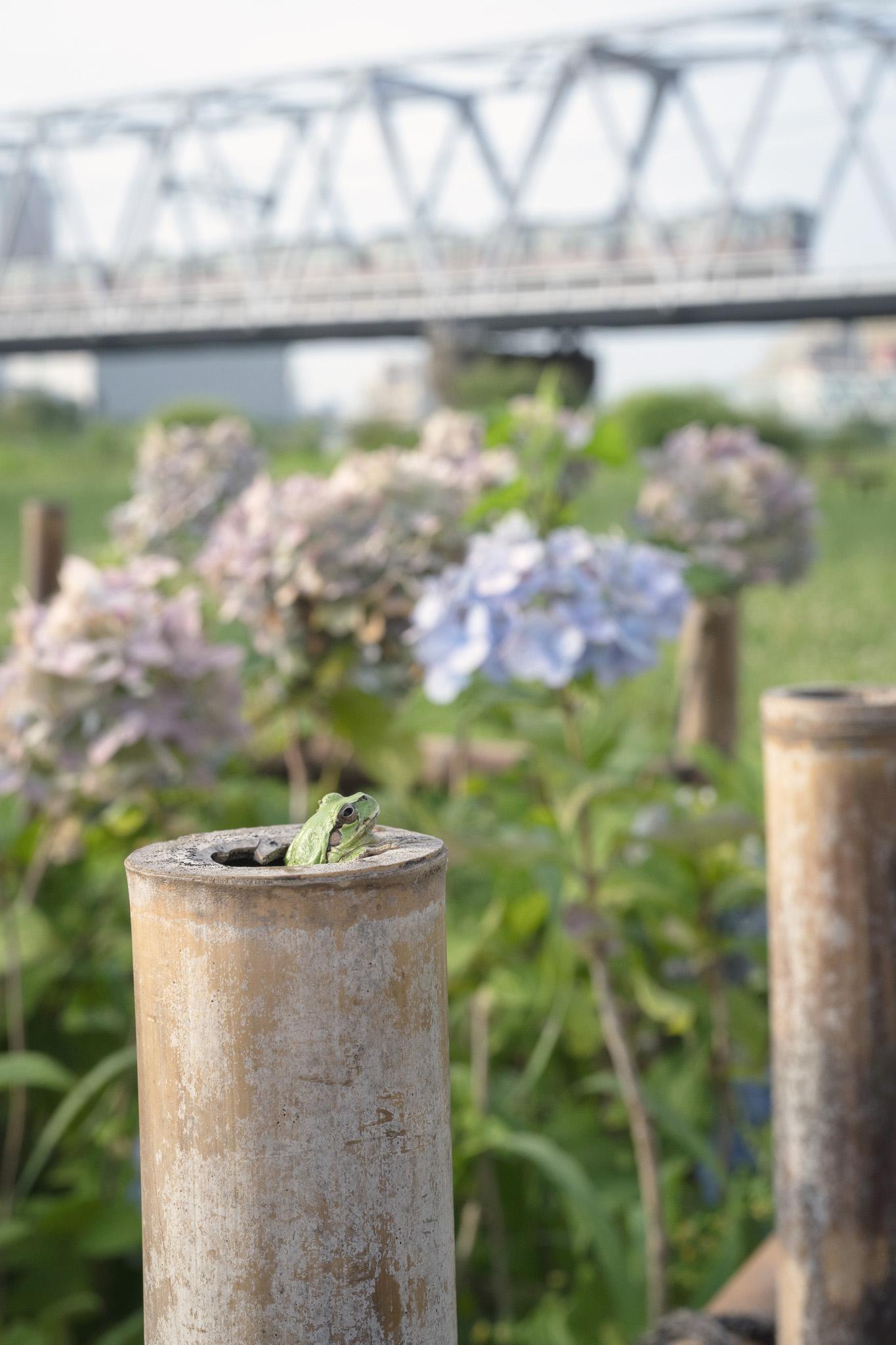 ひょっこりと 小岩菖蒲園にて 2020年7月3日撮影