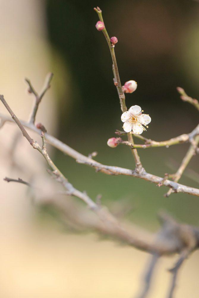 じゅん菜池緑地でも梅が開花