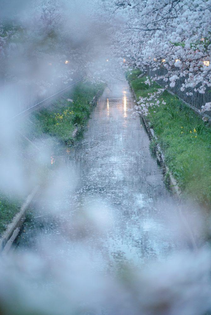 散りはじめの真間川の桜