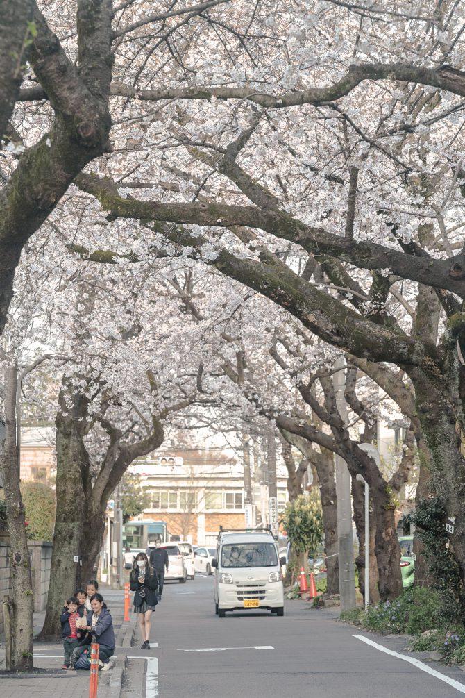 国府台病院から里見公園へと続く道路沿いの桜並木