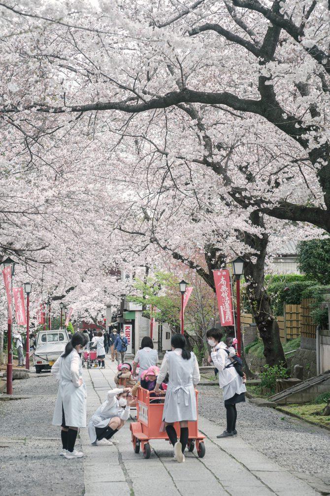 中山法華経寺参道の桜並木