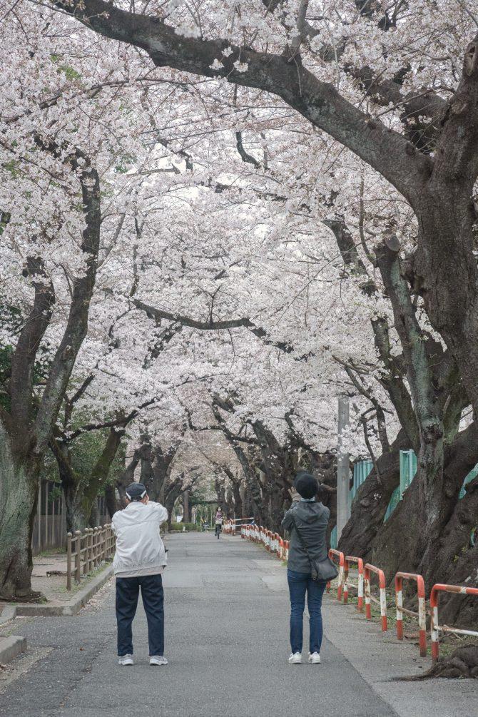 市川市スポーツセンターと千葉商科大学の間の桜並木