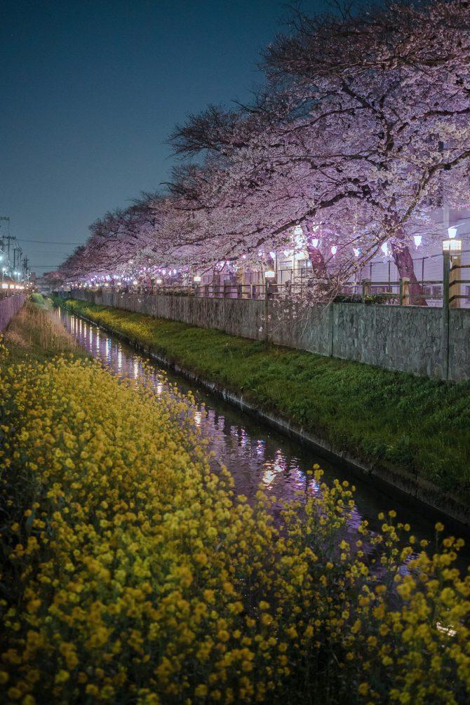 真間川の菜の花とソメイヨシノ