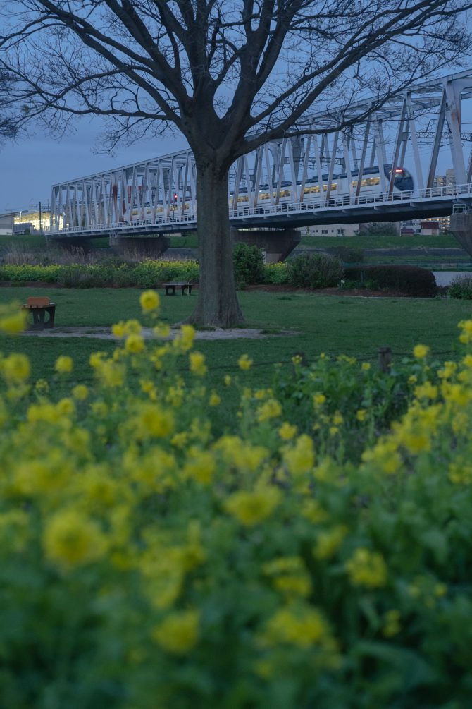 京成イブニングライナーと菜の花
