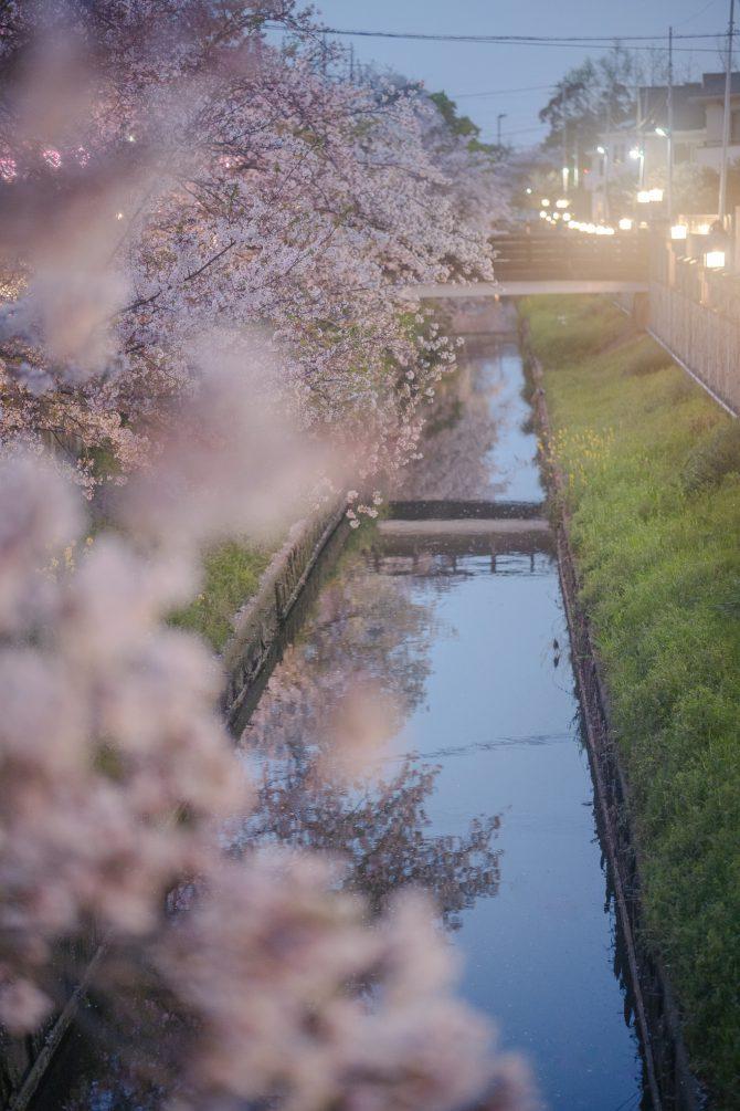 冨貴島小学校裏の真間川の夜桜