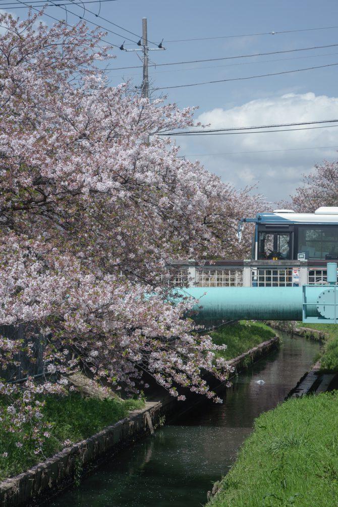 散りはじめのソメイヨシノと京成バス