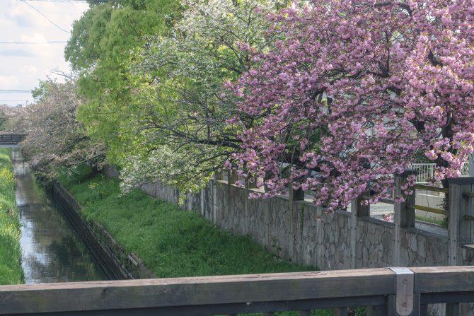 真間川の八重桜