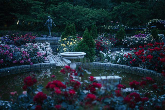 日没後のバラ園にて