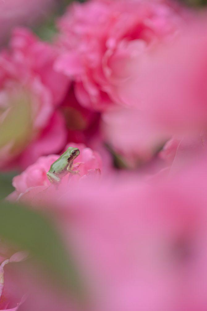 ピンクのバラの上で