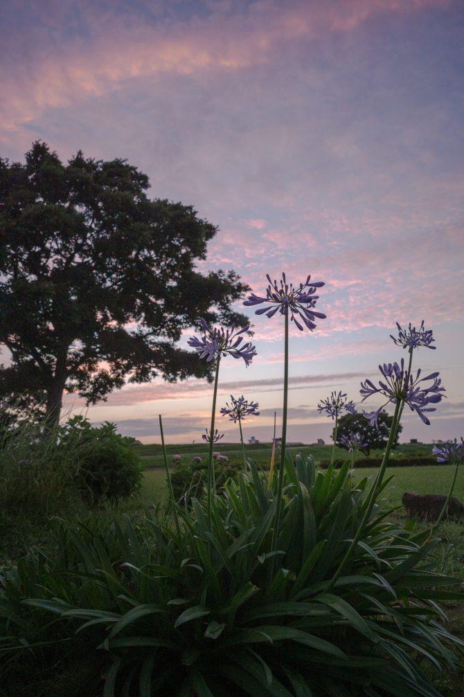 夕焼け空とアガパンサス