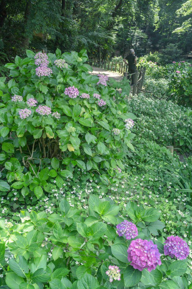 大町公園の紫陽花とドクダミの花