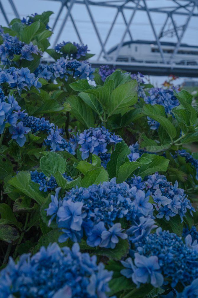 紫陽花と京成イブニングライナー