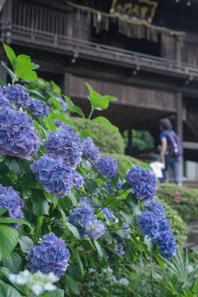 中山法華経寺の紫陽花
