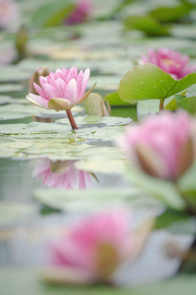 スイレンの池で
