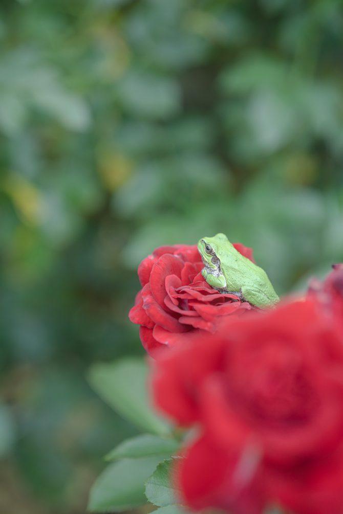 赤い薔薇の上で