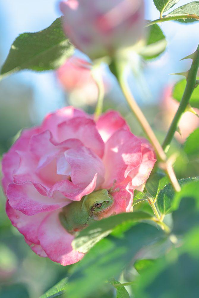 秋のバラとアマガエル